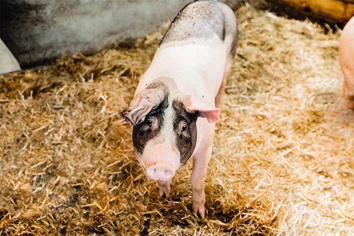 Schweinderl im Stall vom Postgut in Twend